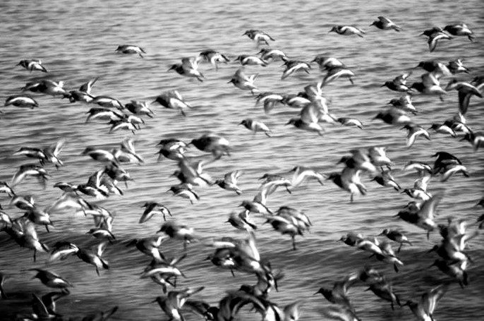 flock-of-rock-sandpiper-birds-in-flight-calidris-ptilocnemis-725x476 (2)
